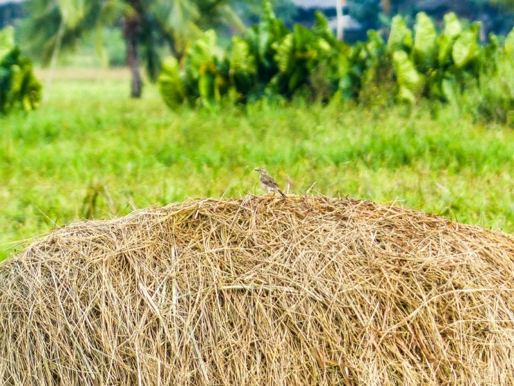 Rice farming. Siargao island, Philippines. Paddyfield Pipit (Anthus rufulus(.
