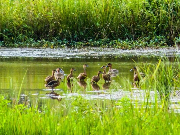 Philippine Ducks *Anas luzonica) and Wandering Whistling Ducks (Dendrocygna arcuata)