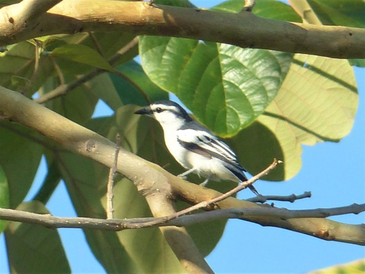 The Pied Triller (Lalage nigra)
