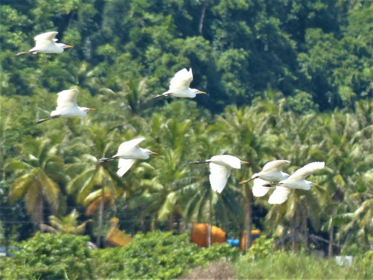 Rice field egrets on Siargao island
