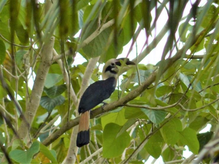 Mindanao Hornbill (Penelopides affinis) on Siargao island.