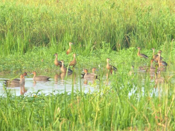 Wild ducks on Siargao island