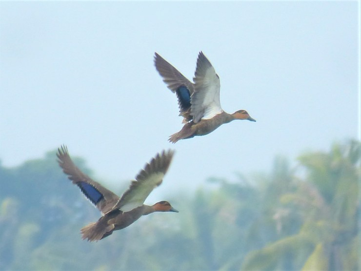 The Philippine duck (Anas luzonica) on Siargao island.