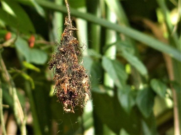 The Handsome Sunbird (Aethopyga bella) nest on Siargao island.