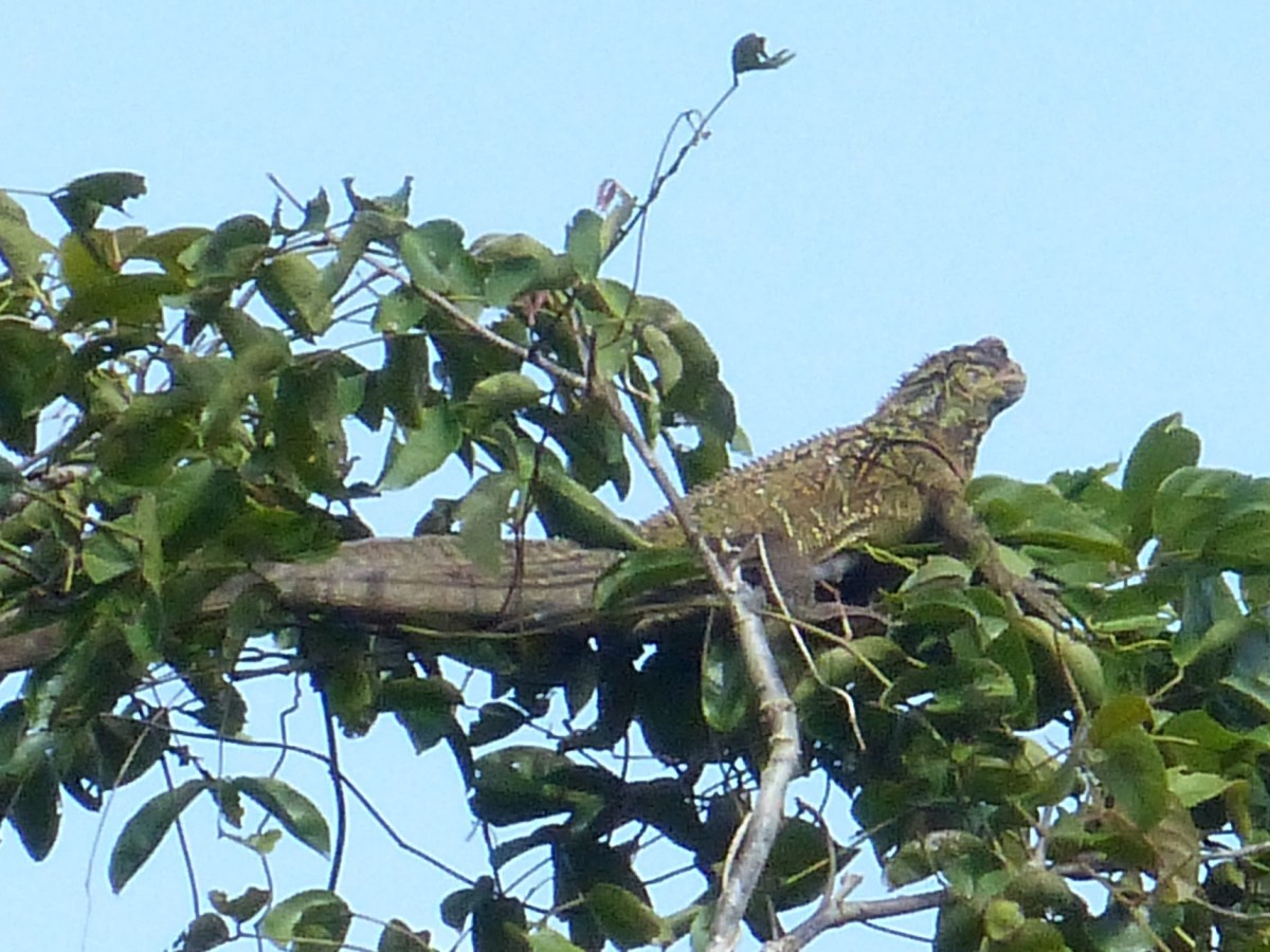 Sailfin Lizard in the Treetops!