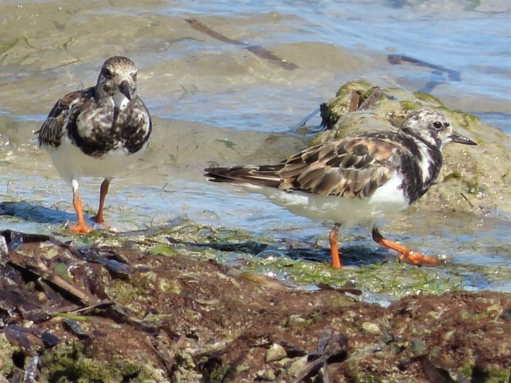 ruddy turnstone (Arenaria interpres) on Siargao island