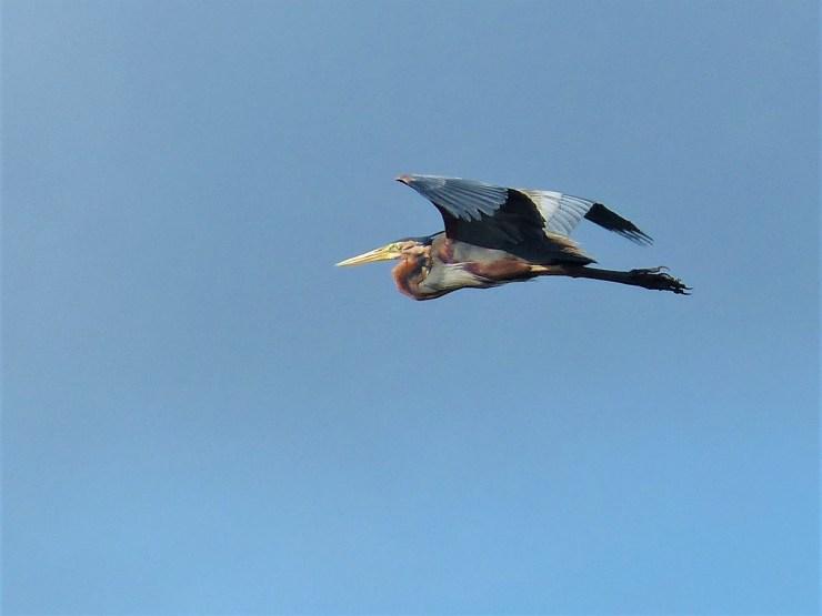 The Purple Heron (Ardea purpurea) iseen in flight on Siargao island, Buhing Kalipay
