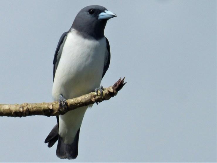 The White-breasted Woodswallow(Artamus leucorynchus) on Siargao island, Philippines, Buhing Kalipay
