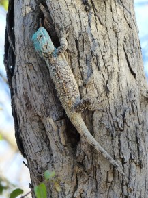Blue-headed Agama (Acanthocercus atricollis). Kruger NP, South Africa. 30.7