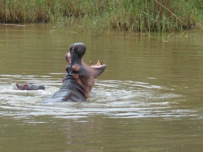 Hippo. Saint Lucia, South Africa. 25.7.2016 (5)