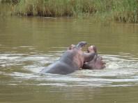 Hippo. Saint Lucia, South Africa. 25.7.2016 (6)