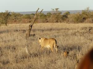 Lion. Kruger NP, South Africa. 29.7.2016 (3)