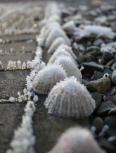 Frosty limpets
