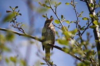 Beautiful thrush