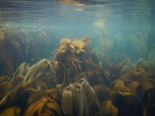 A forest of kelp (by Lottie Goodlet)