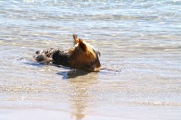 Daisy cooling off on a hot day at Oronsay, Inner Hebrides