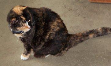my calico cat Callie