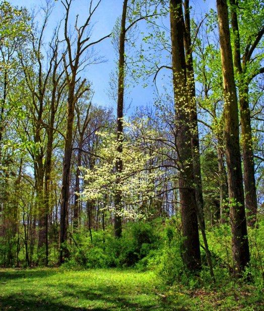 dogwood tree in woods