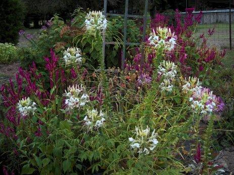 featuring white spiderflowers
