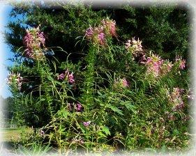 spiderflowers