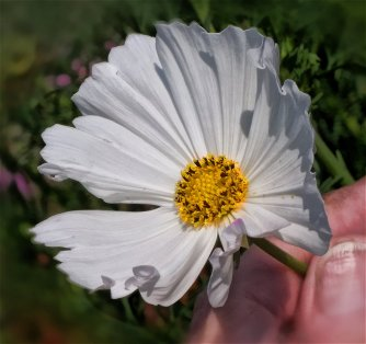 white cosmos closeup