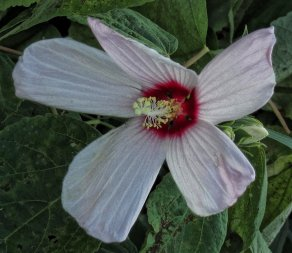 wild hibiscus or rose mallow
