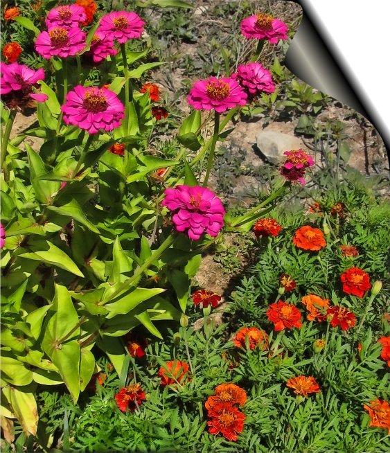 zinnias and marigolds