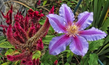 celosia and clematis