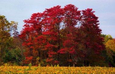 red sassafras trees