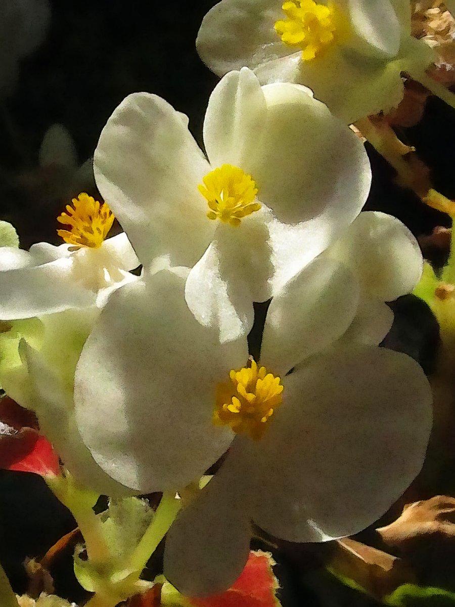 white begonias