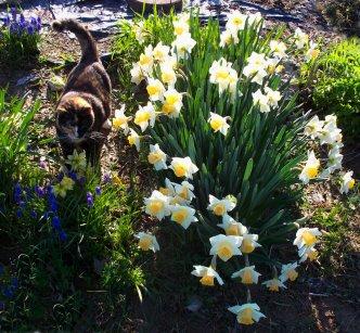 my cat callie amid the daffodils