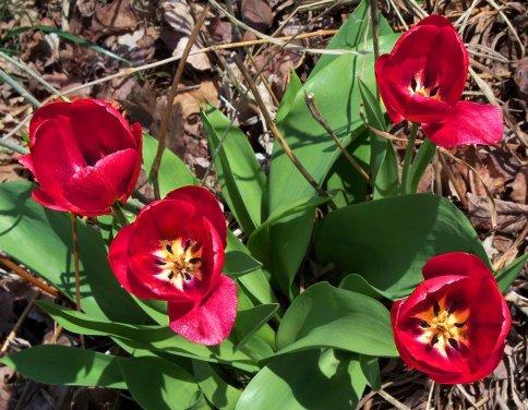 neighbors' red tulips