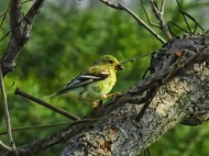 goldfinch with seed in beak