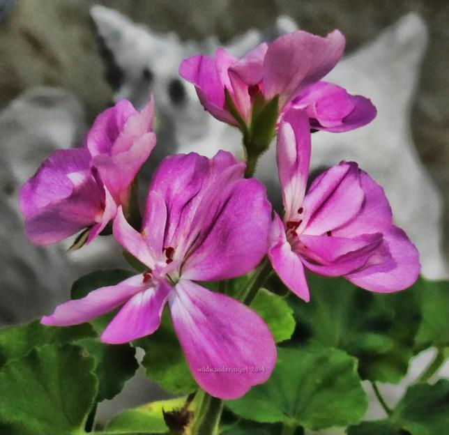 pink-geran-2014-signed