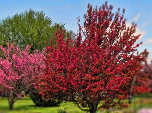 redbud-and-crabapple-tree-my-garden