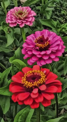 pink-and-red-zinnias-2013