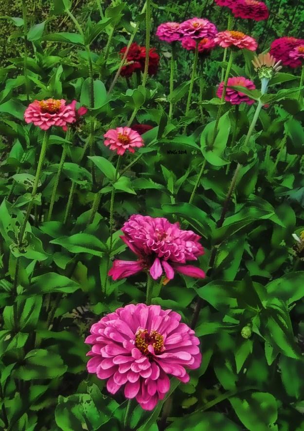pink-zinnias1