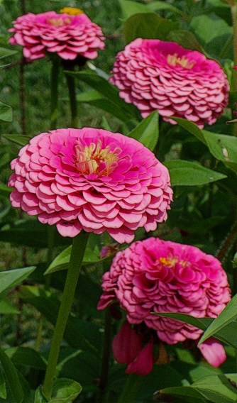 zinnias-two-toned-pink