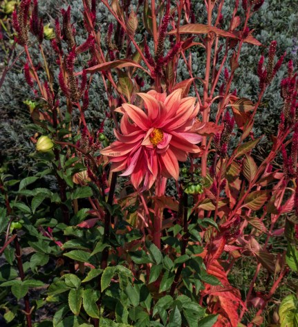 dahlia-surrounded-by-fall-hues
