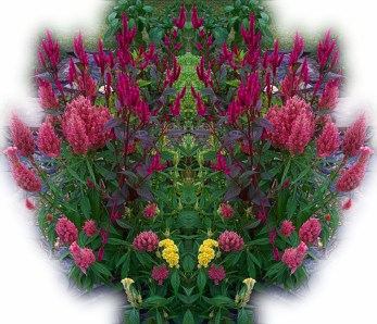 pink-red-yellow-celosias-mirror-effect