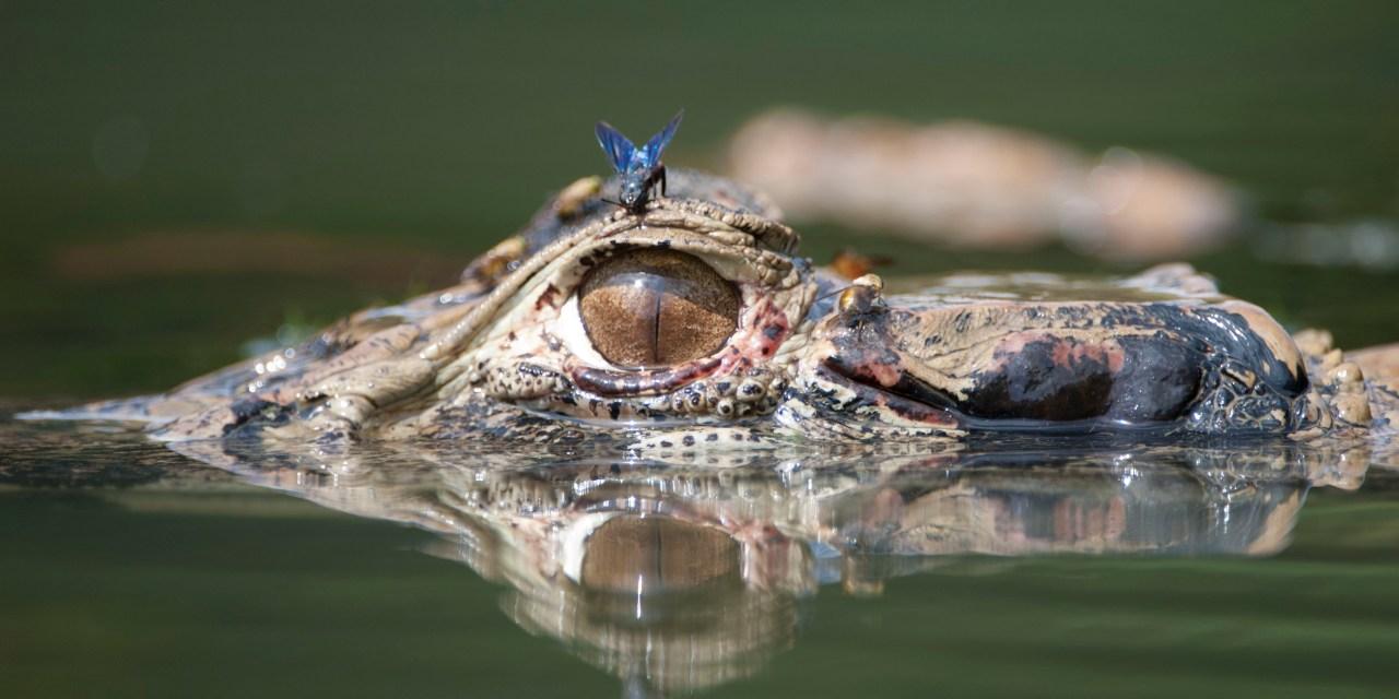 https://i2.wp.com/wildwatchperu.com/wp-content/uploads/2018/09/Black-caiman-in-Manu-Park-lakes1-1.jpg?resize=1280%2C640&ssl=1