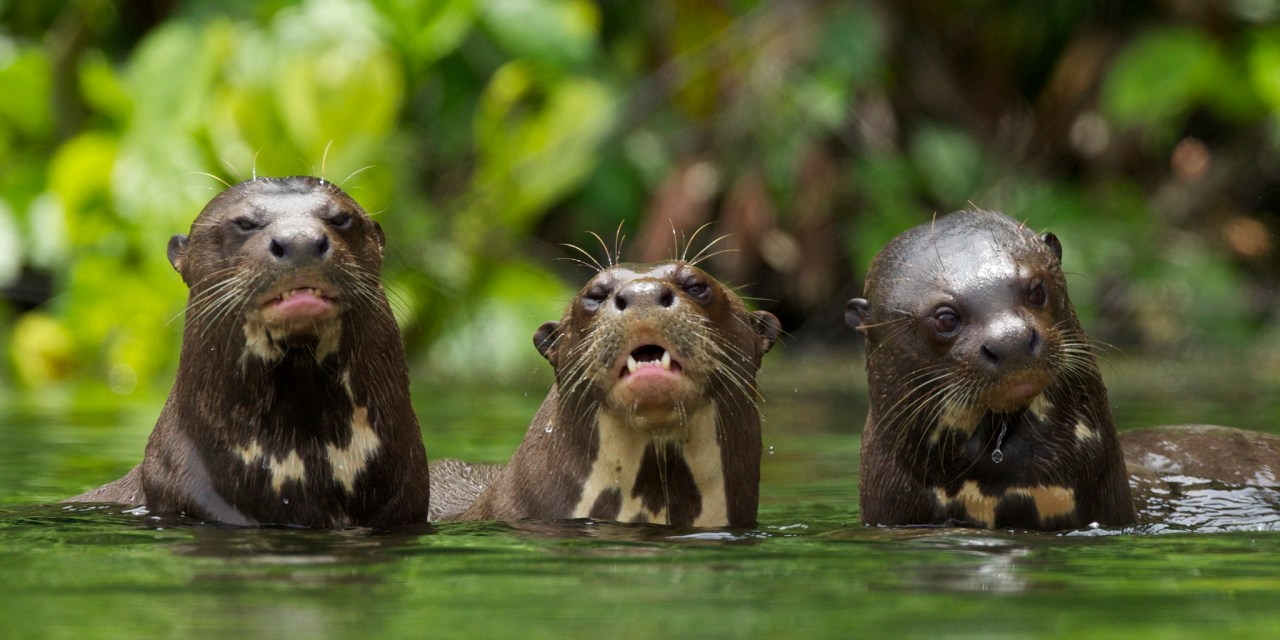 https://i2.wp.com/wildwatchperu.com/wp-content/uploads/2018/09/Giant-River-Otter-Salvador-Lake-Manu-park-1.jpg?resize=1280%2C640&ssl=1