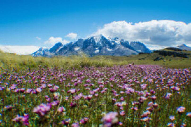 torres-del-paine-flowers
