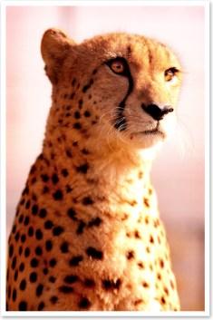 Our cheetah Victor