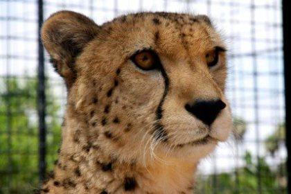 Victor the Cheetah