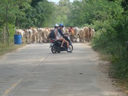 chasing dem cows