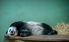 Edinburgh Zoo. Sleeping panda.