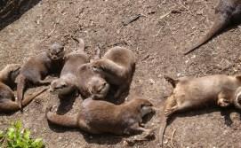 Edinburgh Zoo. Sleeping otters.