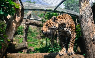 Edinburgh Zoo. Not sleeping leopard. Fun fact: Leopard have circle patterns and jaguars have a circle with a spot pattern.