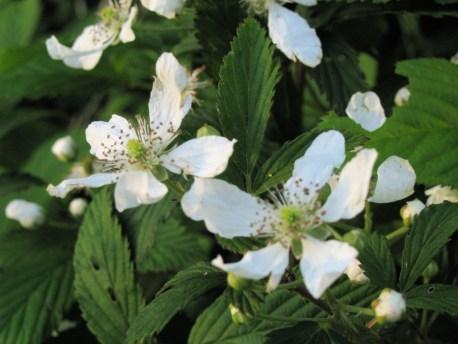 blackberry-flowers